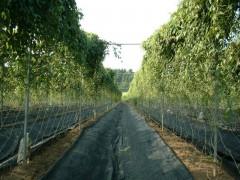 自然薯の畑