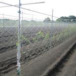 笠間の自然薯