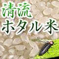 ホタル米は茨城県城里産のコシヒカリ | 清流ホタル米
